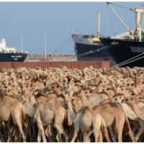 Saudi Arabia Suspends Somali Livestock over Alleged Illness